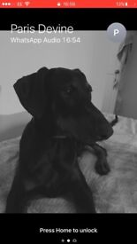 6 month old Doberman puppy for sale