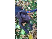 Beautiful KC registered Chocolate Labrador is for sale in London