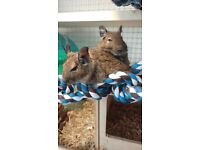 2 x Loving Male Degus. 3.5 months old. With degu cage/accessories + 2 months supplies