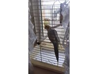 Female cockatiel for sale