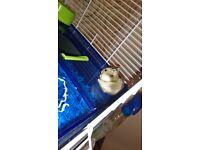 Beautiful Russian Dwarf Hamster