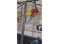 indian ringneck parakeet, comes with large cage and all accessories.