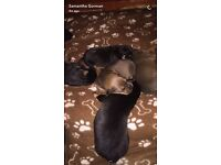 Rottweiler cross American bulldog puppies ready to go