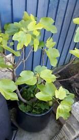Fig tree & ceramic pot