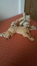 A breed apart labradors