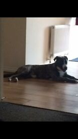 12 month old husky x American bulldog