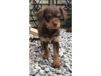 Toy poodle x chihuahua ( poochie)