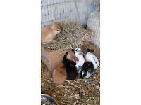 mini lop x bunnies