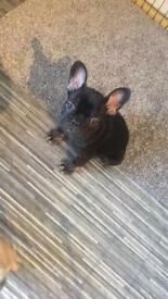 KC French bulldog girl for sale ( only 1 left be quick !!!)