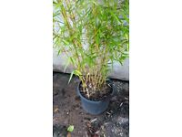 Bamboo Plant Fargesia robusta 'Campbell' 20 litre