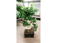 Wonderful Ficus gensing (Banyan) bonsai