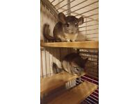 Chinchillas and huge cage