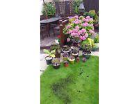 Aeonium Aboreum plants