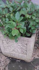 Stone plant pot and bush