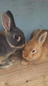 2 female Netherland dwarf rabbits