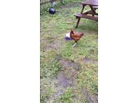 2 Hens with Coop for sale