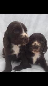 5 beautiful cocker spaniel puppies