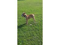 Dogdeu bordeo x american bulldog 5 months old
