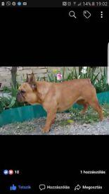 FCI pedigree Red Fawn French Bulldogs