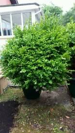 Buxus ball plants large