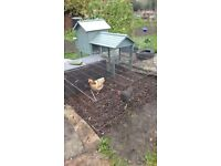 Chickens. Coop / Henhouse and run