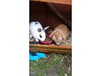 Female neutered french lop and male rabbit and large rabbit run