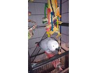 For Sale; African Grey Parrot, large cage, toys and food