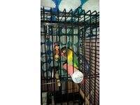 single male lovebird and cage