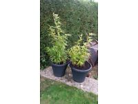 2 x good size Bamboo plants 54/43'' in pots