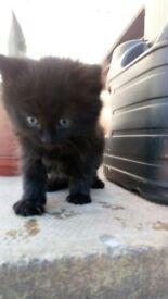 7 week old fluffy small kittens for sale 3 boys end 2 girls