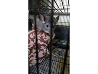 Chinchillas for sale with cage