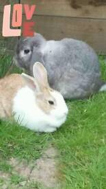 Two bunnies looking to b rehome. With cage