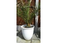 Large Plant - 5ft - Hardy Fan Palm Trachycarpus fortunei