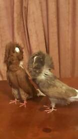 Am Selling 2 off my Female Jacobin pigeon's.. Very Healthy And Active