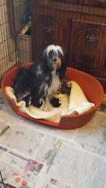 KC Registered Tibetan Terrier Puppies for Sale