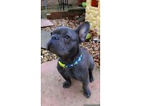 KC registered blue male french bulldog puppy