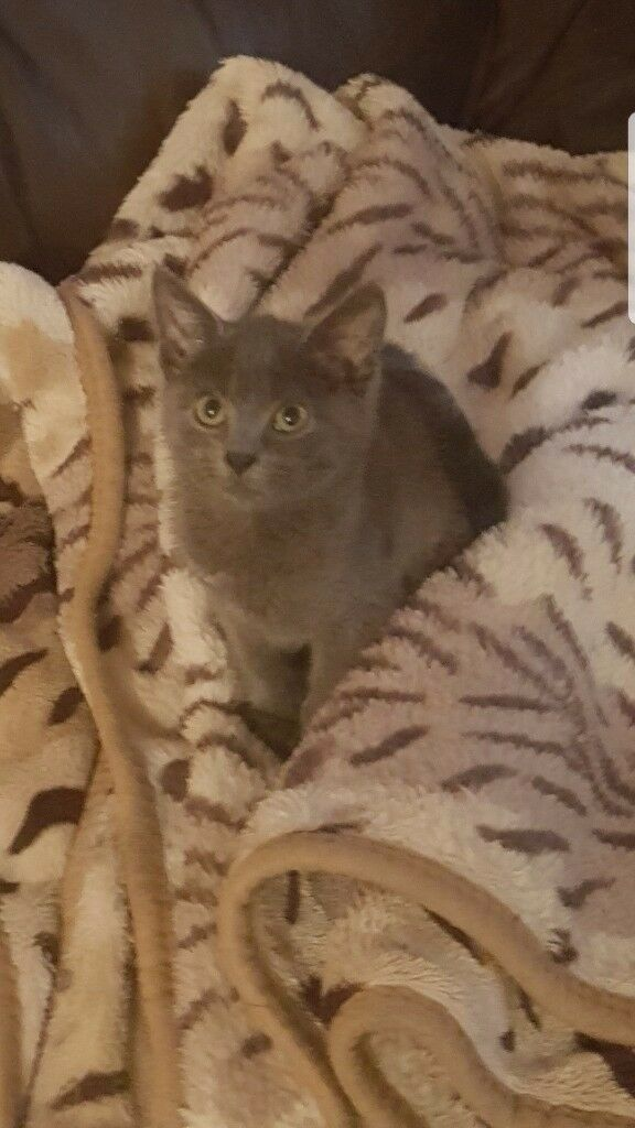 Russian Blue kitten Grey kitten european champion pedigree