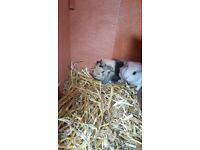 Two baby boy Guniea Pigs for sale