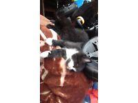 Selling English breeds kittens.