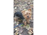 Yorkshire Terrier full pedigree wanted good home she is 12 years old house trianed