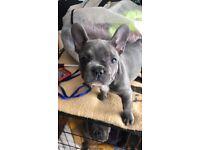 Healthy blue french bulldog pups