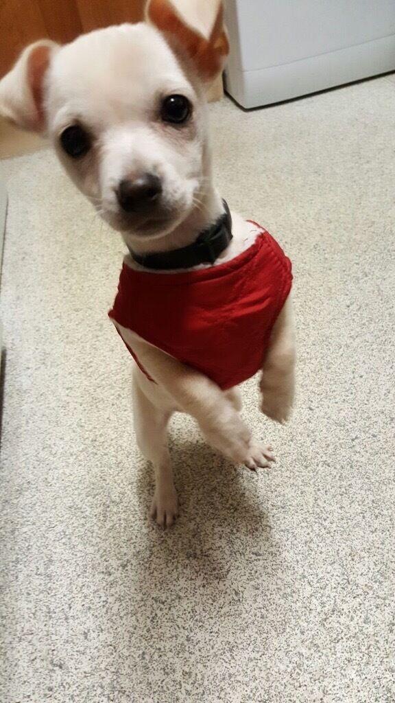 Beautiful Chihuahua puppy dog