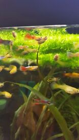 Golden Endler male & female guppies