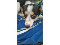 Jack Russell x needs loving home