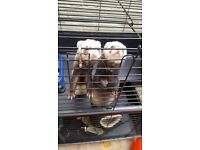 Two Micro Ferrets in Need a of a New Home