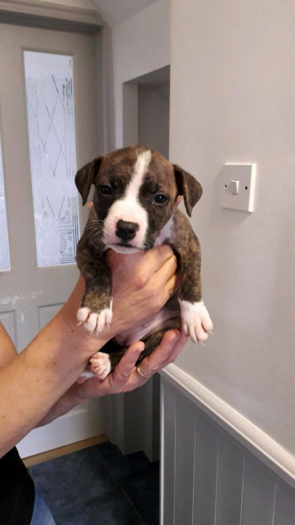 American Bulldog X Mastiff Staffy In Essex Gumtree