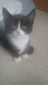 6 black and white kittens 8 weeks old £40 each