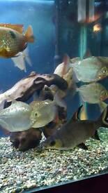 4 large silver dollar fish