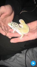 Geko lizard