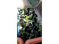 Veg seedlings